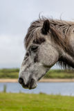 Head of Gray Horse. In detail with maedows in the distance Royalty Free Stock Photo