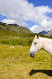 Head of a gray horse in the Tyrolean Royalty Free Stock Images