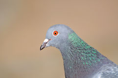 Head gray pigeon. Royalty Free Stock Images