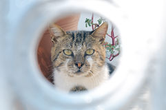 Head of gray-white cat through the round hole Royalty Free Stock Image