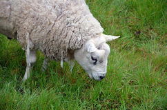 Head of grazing white sheep and green grass photography Stock Photography