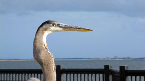 Head of Great Blue Heron Stock Images
