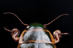 Head of great diving beetle (Dytiscus marginalis) Stock Image