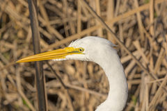 Head of a Great Egret Stock Photography