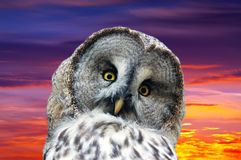 Head of great Gray Owl. (Strix nebulosa) against sunset sky royalty free stock photography