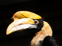 Head of great hornbill Stock Photography