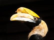 Head of great hornbill Royalty Free Stock Image