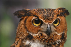 Head of a Great Horned  Owl Royalty Free Stock Photos
