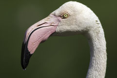 Head of Greater Flamingo isolated against green background. Head of Greater Flamingo shown in profile and isolated against blurred green background provided by Stock Photo