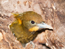 Head of  Greater Yellownape -  Picus flavinucha mystacalis Royalty Free Stock Image
