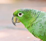 Head of the green amazon parrot Stock Photo