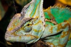 Head green chameleon Royalty Free Stock Photography