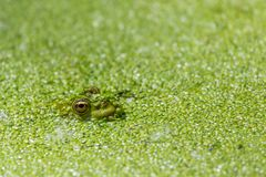 Green frog in a pond full of duckweed royalty free stock photo