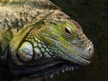 Head of a green iguana. The head and face of a captive green or American iguana in a zoo Royalty Free Stock Image