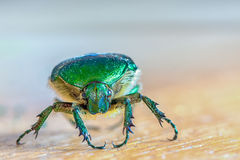 head of green insect Chlorocola africana Royalty Free Stock Photos