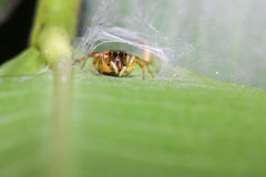 Head Green Jump Spider Stock Image