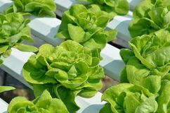 The head of green lettuce. In farm Stock Images