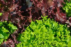 The head of green lettuce. In farm Stock Photos