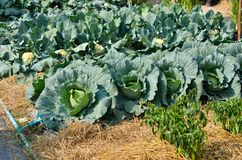 The head of green lettuce. In farm Stock Image