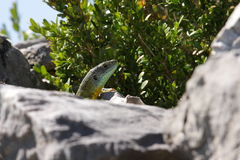 Head of Green lizard Royalty Free Stock Images