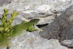 Head of Green lizard Stock Photos