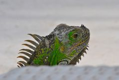 Head of green mexican iguana. The green iguana is native to Central and South America. It is herbivorous. It can reach 2 meters and weigh 15 kilos. It can be stock images