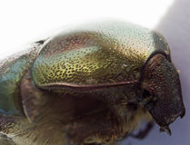 A head of green rose chafer. Detail of head of green rose chafer on a white background Stock Photos