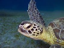 Head of green sea turtle. Green sea turtle Chelonia mydas  swimming underwater , Abu Dabab,  Egypt Stock Images
