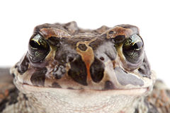 Head of green toad Stock Photography