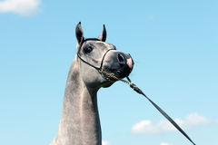 Head of grey filli. Head and neck of grey arabian filli bred in polish stud with blue sky in background stock photography