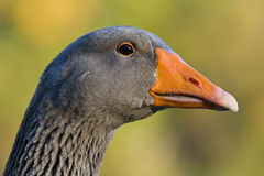 Head of grey Goose. Portrait or closeup view of the head of a grey goose. Genus: Anser royalty free stock photo