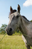 Head of grey horse Stock Image