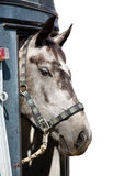 Head of grey horse in trailer. Head of the grey horse in trailer  isolated Royalty Free Stock Images