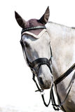 Head of grey sporting horse Stock Images