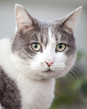 Head of Grey and White Cat Looking Anxious and Stressed Royalty Free Stock Photo