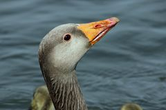 Greylag goose on water stock images