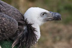 Head of a griffon vulture Stock Photo
