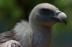 The head of Griffon Vulture. The griffon vulture Gyps fulvus is a large Old World vulture in the bird of prey family Accipitridae. It is also known as the stock images