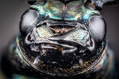 Head of ground beetle Royalty Free Stock Images
