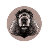 Head Groundhog stock illustration