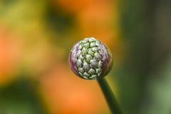 Head of growing wild alium flower in garden, spring time. Head of growing wild alium flower in garden, spring time stock image
