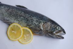 The head of gutted trout. Fresh gutted trout on white background with lemon slices . Detail Royalty Free Stock Images