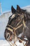 Head häst med selet angus Arkivbilder