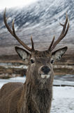 head höglandskottfullvuxen hankronhjort Royaltyfri Fotografi