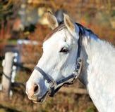 head hästwhite Fotografering för Bildbyråer