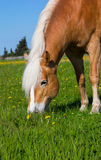 Head of a Haflinger Horse on the meadow. Royalty Free Stock Photo