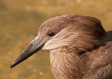 Head of hamerkop bird Royalty Free Stock Photo