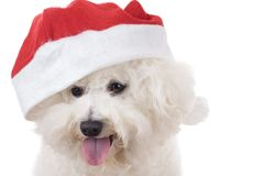 Head of a happy santa bichon frise. Puppy dog on white background Stock Images