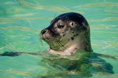 Head of harbor seal Stock Photography