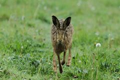 A head on hare. A buck hare blissfully unaware of the photographers position Stock Image